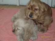 health Akc  lookingand adorable Cocker Spaniel for Sale