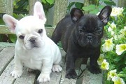 100% Pure and Healthy Black and whiite French  Bulldog Puppies