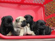 Healthy Pug puppies Available now