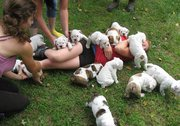 Brwon and white Englsih Bbulldog puppies for sale